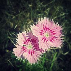 Lumia 1020 & PicMonkey - Pink Flowers