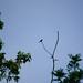 Chiffchaff calling on high bare twig