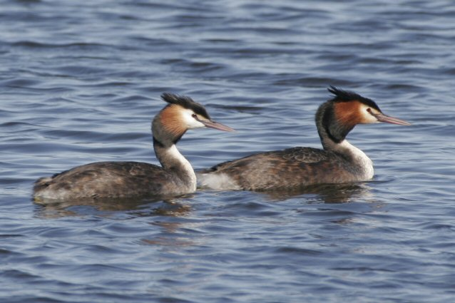 Great Crested Grebes jpg