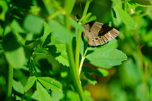 Ringlet butterfly resting, Baggeridge Country Park