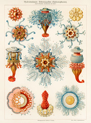Hydromedusen: Röhrenquallen (Siphonophoren), translated Tube Jellyfish, from The Meyers Großes Konversations-Lexikon (1905). Digitally enhanced from our own original plate.