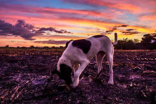 dog cornfield burnt philippines sunset corn laoac