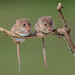 Harvest Mice by Linda Martin Photography