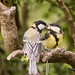 Feeding time,Great tit adult and fledgling