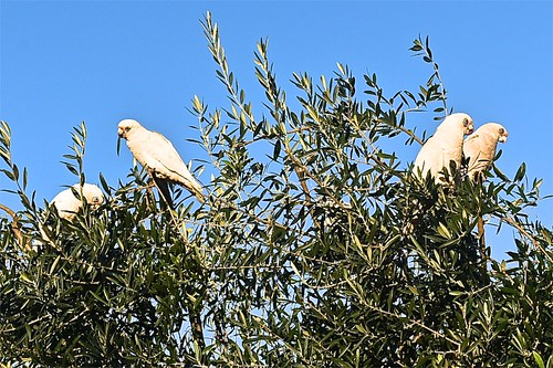 White cockatoos eating leaves on one of our olive trees