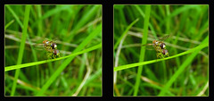 Hoverfly Hanky Panky 1 - Parallel 3D