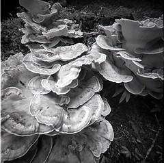 Fungus Study.