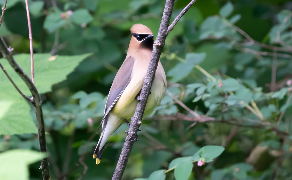 Cedar wax wing 2 (1 of 1)