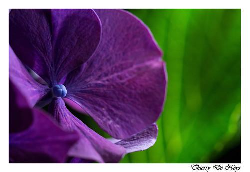 Coeur bleu d'hortensia / Blue hydrangea heart