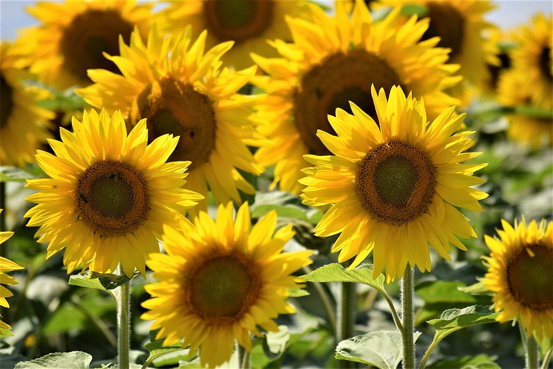 Sunflowers 30.06 (12)