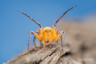 Lynx spider (Oxyopes cf. flavipalpis) - DSC_4675