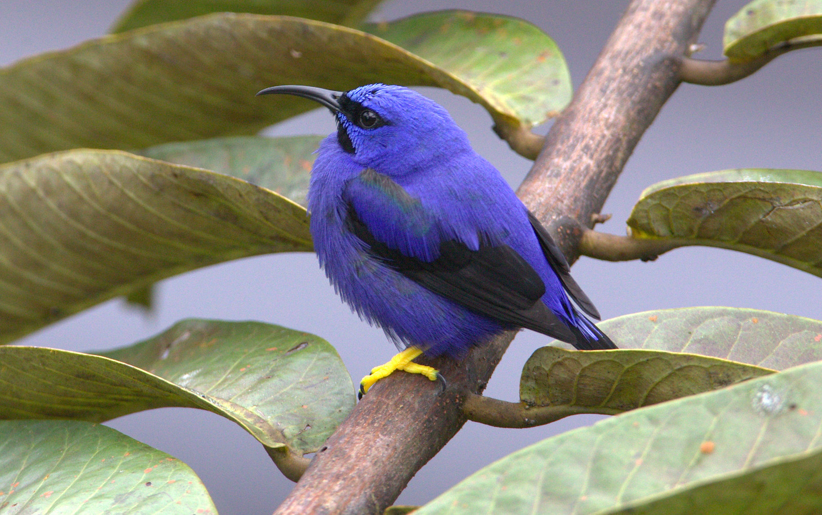 Purple Honeycreeper Cyanerpes Caeruleus