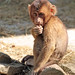 pigtailed macaque Burgerszoo JN6A0511