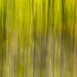 Bluebells in Bishopstoke woods