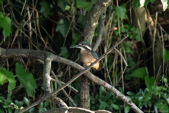 20180714-kingfisher-DSC_6116