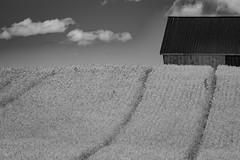 Making hay...