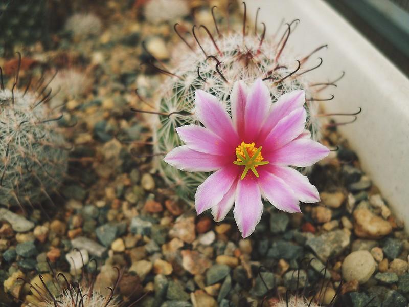 Mammillaria grahamii.