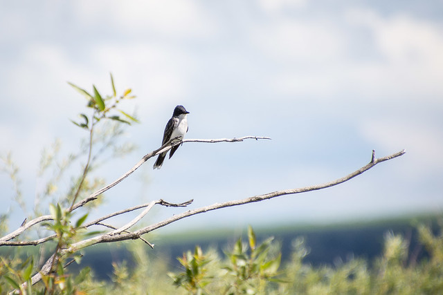 swallow (?)