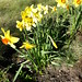Small photo of Daffodils are out at long last