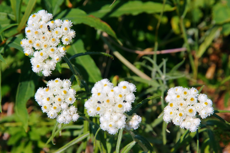 IMG_5090 Pearly Everlasting, Glacier National Park
