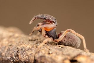 Palp-footed spider (cf. Palpimanus sp.) - DSC_4740