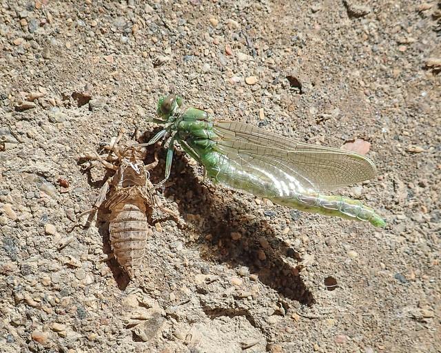 freshly emerged dragonfly