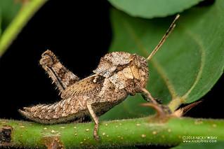 Grasshopper (Caelifera) - DSC_5585