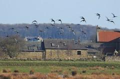 Black-Tailed Godwit - In Flight Over Druridge Ponds