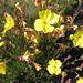 starr-180511-3667-Oenothera_stricta_subsp_stricta-flowers-Hosmers_Grove_Haleakala_National_Park-Maui