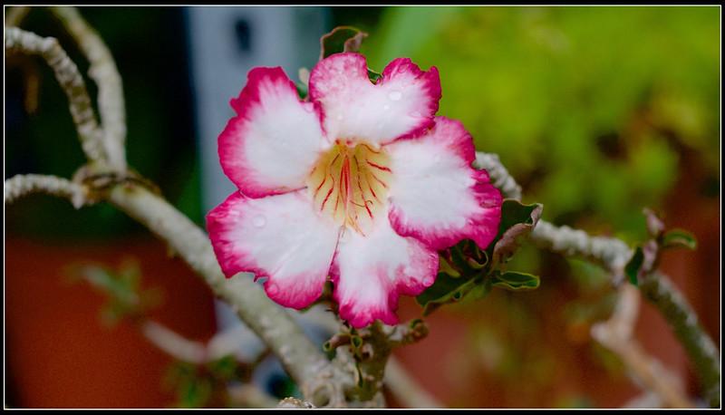 沙漠玫瑰-P4240683 (1)
