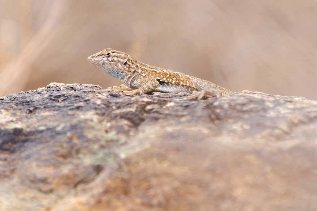 A common side-blotched lizard perches on a rock beside the Sidewinder Trail in Phoenix Sonoran Preserve in Phoenix, Arizona