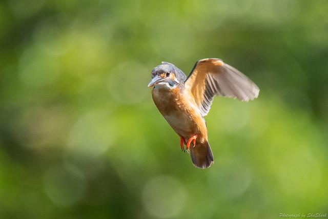 20180630-kingfisher-DSC_5419