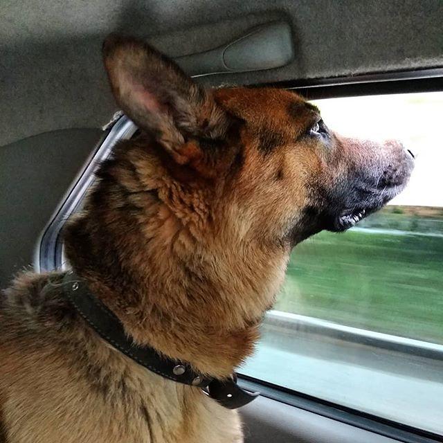 Чудовищная собаченька Алтай очень любит кататься на машине и смотреть в открытое окно. Совсем как маленький ребенок :-) Интересно, как бы ему понравилось на поезде?