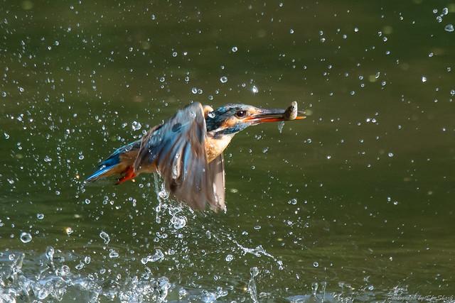 20180629-kingfisher-DSC_4732