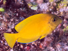 Mimic surgeonfish (Acanthurus Pyroferus)