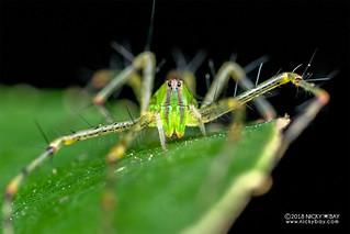 Green lynx spider (Peucetia pulchra) - DSC_4947