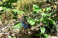 KY100_9482 Blue Butterfly