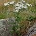 Yarrow or Milfoil  Achillea millefolium