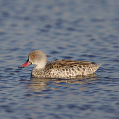 Cape Teal, Anas capensis, Marievale Nature Reserve, Gauteng, South Africa