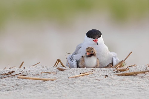 Tern with Chick