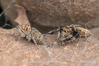 Jumping spiders (Tusitala sp.) - DSC_4473