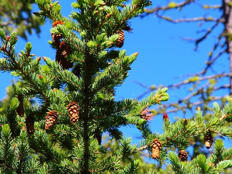IMG_0619 Engelmann Spruce (Picea engelmannii)