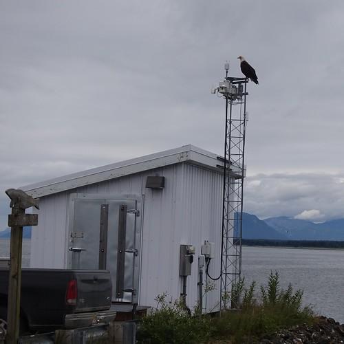 Bald Eagle, Gustavus Dock