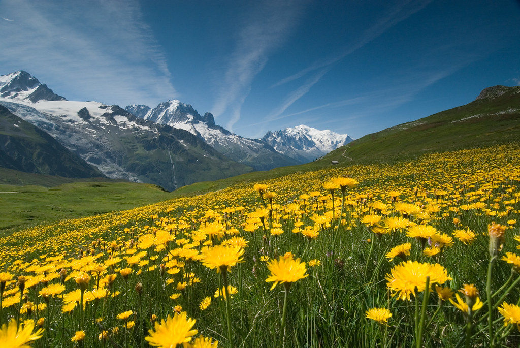 Meadow of Yellow Flowers and Mountains
