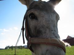 mane(0.0), donkey(0.0), pack animal(0.0), horse(0.0), animal(1.0), mule(1.0), mare(1.0), mammal(1.0), halter(1.0), bridle(1.0), horse tack(1.0), pasture(1.0),