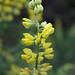 Yellow Bush Lupine - Photo (c) Eric in SF, some rights reserved (CC BY-NC-ND)