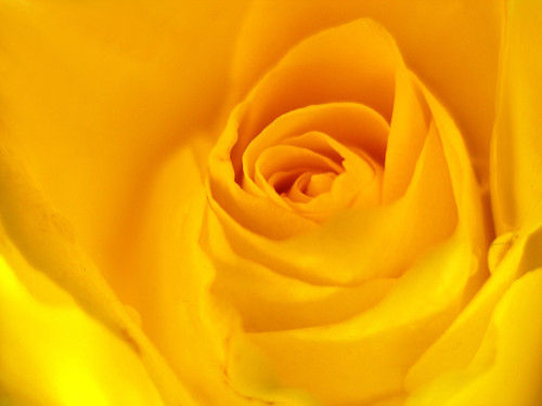 The yellow rose...