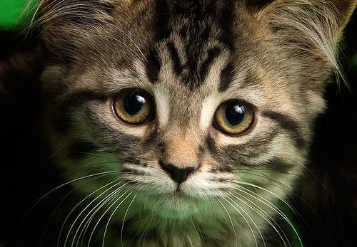 Pet store kitten