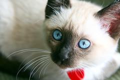 animal(1.0), siamese(1.0), small to medium-sized cats(1.0), pet(1.0), snowshoe(1.0), ragdoll(1.0), thai(1.0), tonkinese(1.0), close-up(1.0), cat(1.0), carnivoran(1.0), whiskers(1.0), balinese(1.0), birman(1.0), domestic short-haired cat(1.0),
