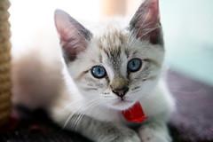 animal, small to medium-sized cats, pet, singapura, cat, carnivoran, whiskers, domestic short-haired cat,